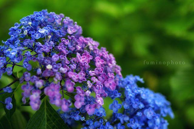 庭の紫陽花今年も綺麗に咲いてくれました。雨が降ると頭を下げておじぎする。・・・かわいいですね♪#la_macromini#_international_flowers#blooming_petals#flaming_flora#macroflowers_kingdom#lovely_flowergarden#fever_flowers#total_flowers#natura_friends#splendid_flowers#amazing_flowerz#world_bestflower#instagardenlovers#special_flower_collections#photoworld_star_flower#paradiseofpetals#植物#植物が好き#植物のある暮らし#写真好きな人と繋がりたい#写真撮ってる人と繋がりたい#IG_JAPAN#ef_bluedays#nature_special_#instagramjapan#ig_garden#garden#花 #花好き#rainbow_petals