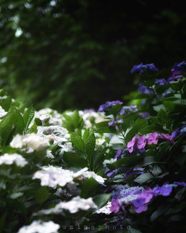 雨が続いていますね。たまの雨はいいけど、連日の雨は職業柄 つらい。そろそろ花火の季節。今年こそちゃんと撮りたい。まずは近所の花火大会雨が降りませんように。#フォトコミュ#_international_flowers#blooming_petals#ts_niwa#macroflowers_kingdom#lovely_flowergarden#fever_flowers#total_flowers#natura_friends#splendid_flowers#amazing_flowerz#world_bestflower#instagardenlovers#special_flower_collections#photoworld_star_flower#あじさい#植物#植物が好き#植物のある暮らし#写真好きな人と繋がりたい#写真撮ってる人と繋がりたい#IG_JAPAN#ef_bluedays#nature_special_#instagramjapan#ig_garden#garden#花 #花好き#rainbow_petals