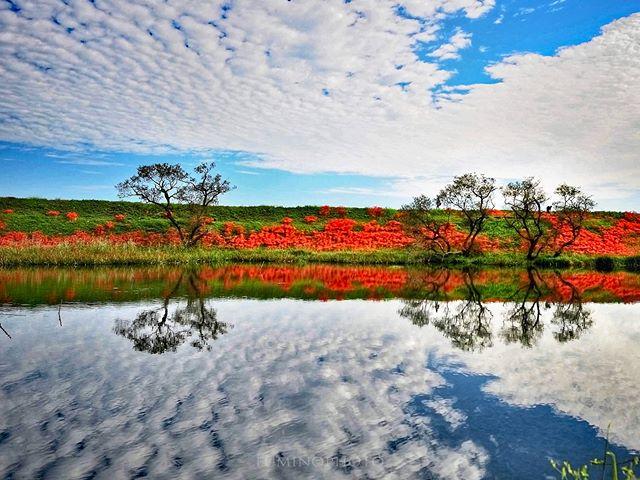 #津屋川の彼岸花年々 花が減っている感じがします。#wp_japan#inspiring_shot#special_flower_collections#flower_special_#wp_flower#tv_flowers#植物#植物が好き#植物のある暮らし#写真好きな人と繋がりたい#写真撮ってる人と繋がりたい#はなまっぷ#IG_JAPAN#ef_bluedays#nature_special_#instagramjapan#ig_garden#garden#花#花好き#はな#rainbow_petals#東京カメラ部#ip_blossoms#lory_and_colors#pocket_colors#ts_niwa#7flowers_vip#ok_myflowers