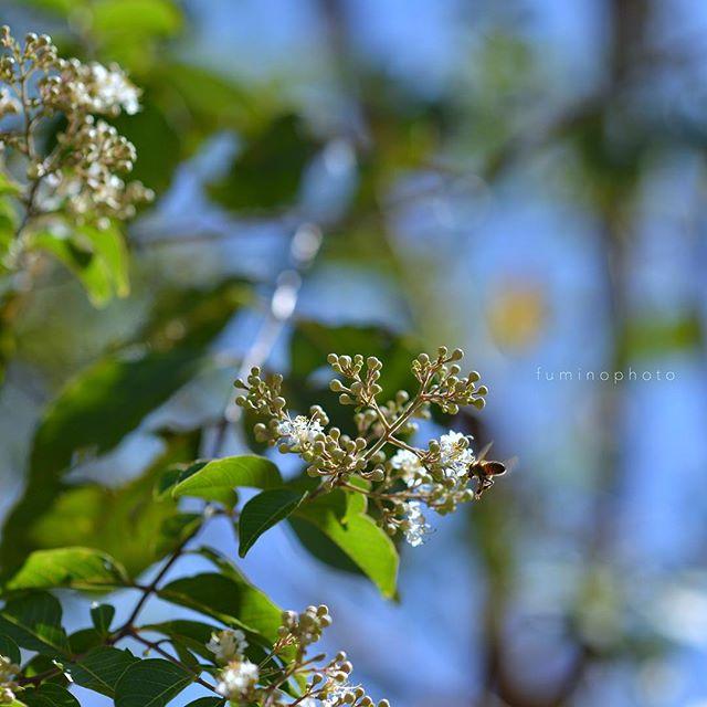 連写機能最大限に使っております(笑)シマサルスベリの花が咲いてくれてホッとしています。ハチくんも激しく食事をしていました。 ..#wp_japan#inspiring_shot#special_flower_collections#flower_special_#wp_flower#tv_flowers#植物 #植物が好き#植物のある暮らし#写真好きな人と繋がりたい#写真撮ってる人と繋がりたい#はなまっぷ#IG_JAPAN#ef_bluedays#nature_special_#instagramjapan#ig_garden#garden#花 #花好き #はな#rainbow_petals#東京カメラ部#ip_blossoms #ティーズガーデンスクエア #ts_niwa